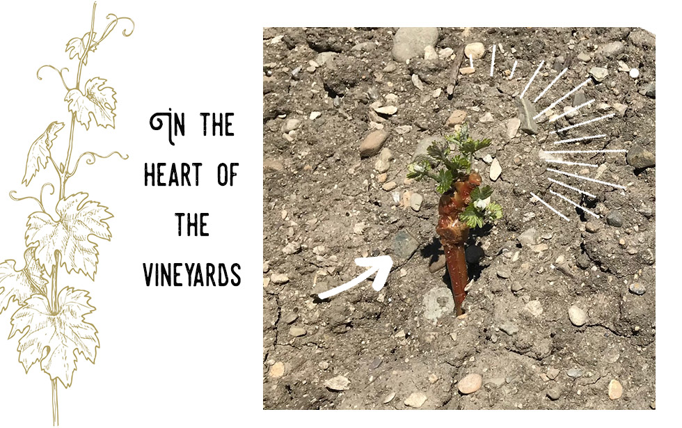 In the heart of the Les Jamelles vineyards